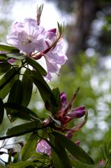 石楠花 1