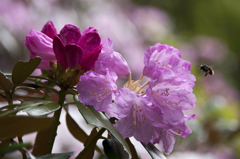 石楠花 4