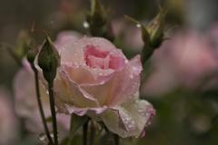 バラと雨 2