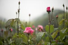 バラと雨 3