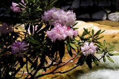 石楠花 5