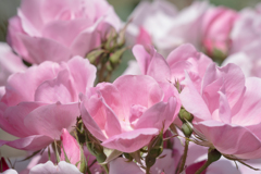 今日は薔薇3題 その1