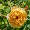 散歩で見る薔薇2