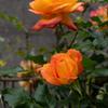 薔薇を撮る会は中止です。