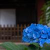 本土寺の紫陽花6