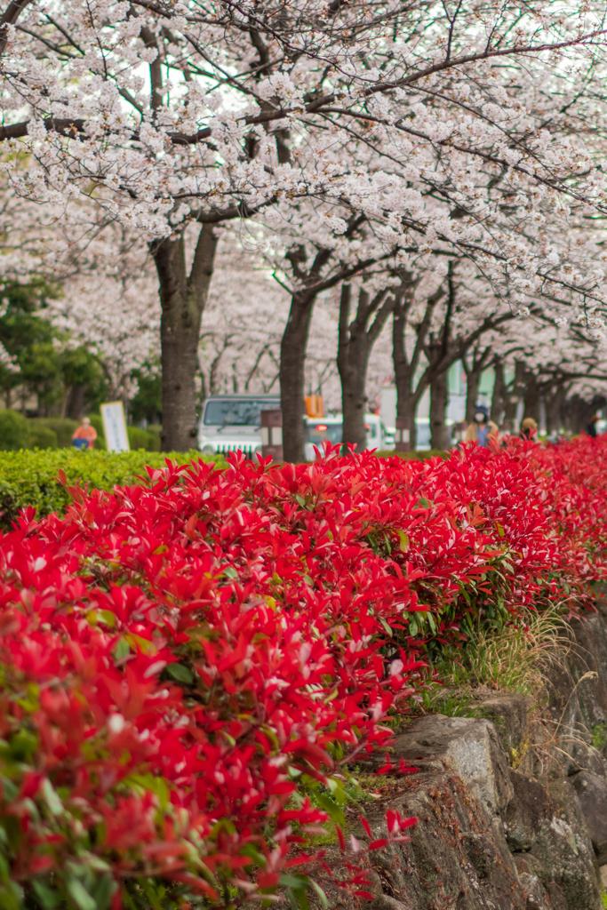 桜通りを歩く