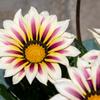 公園の花図鑑4 ガザニア