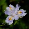 胡蝶花と言う別名もあります