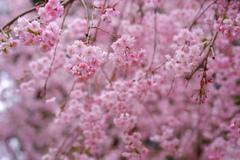 桜色のジュエリー