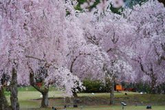 桜のしっぽが見える
