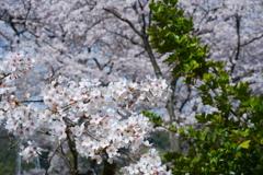 桜の樹と花の二面性