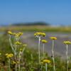 小麦畑の雑草