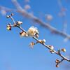 咲きはじめの梅2