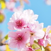 桜シーズン開幕
