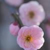 枝垂れ梅淡く咲いて