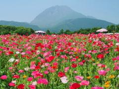 ポピー畑と平成新山~1