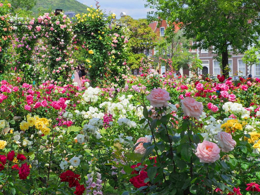 陽光の薔薇園