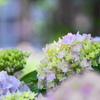 紫陽花の詩~1