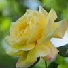 黄色の春薔薇