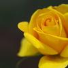 5月の黄薔薇~2