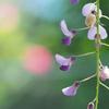 藤の花の旋律