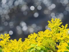 川辺の黄色い花