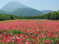 ポピー畑と平成新山~2