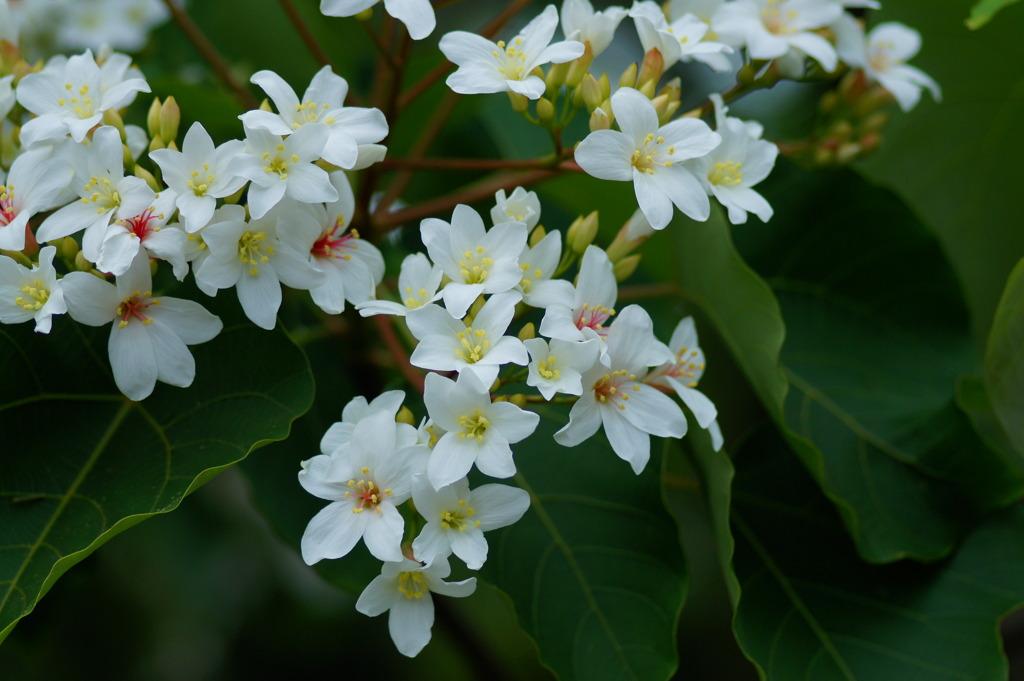 桐の花 2021-4