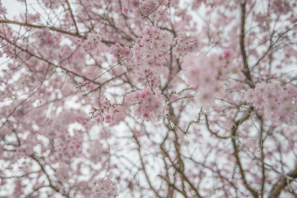 枝垂れ桜を真下から〜