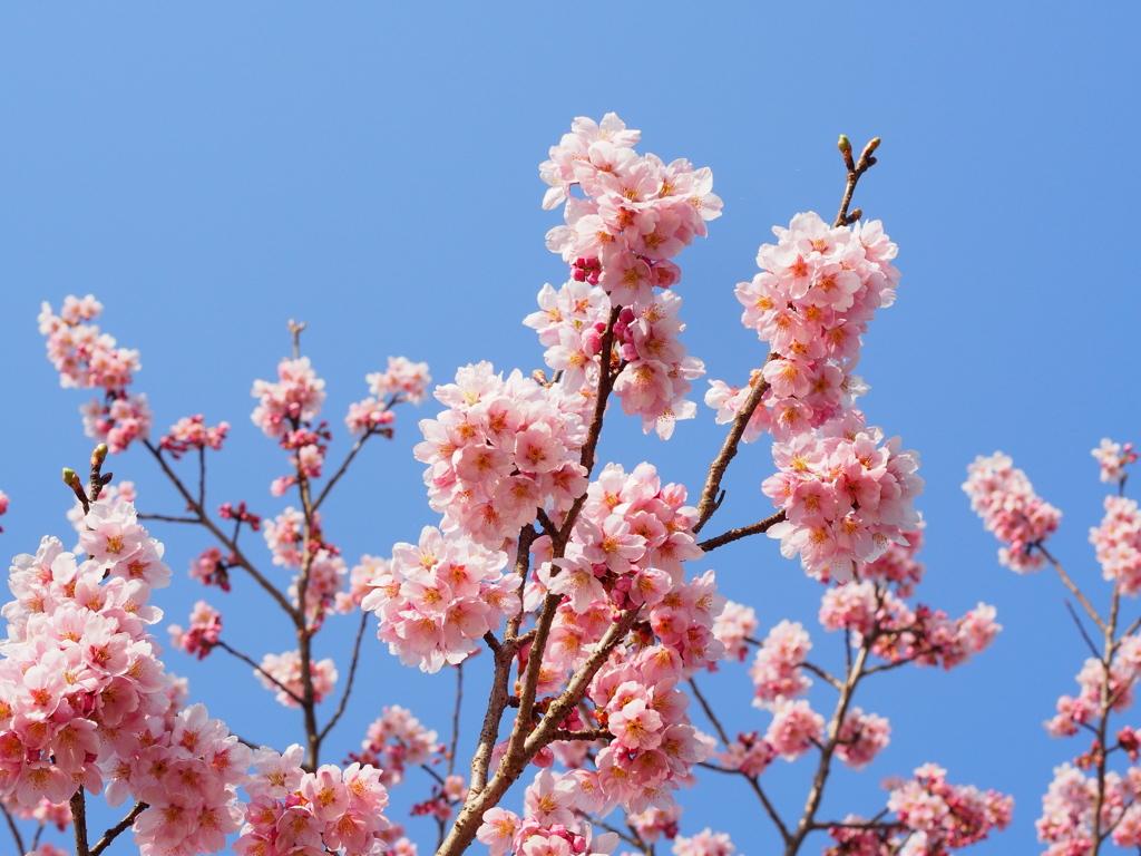 丸山公園の春③