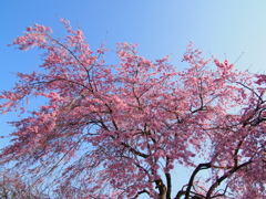 丸山公園の春