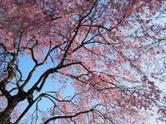 丸山公園の春②