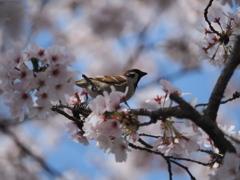 桜アルバム④
