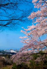 南都奈良・桜越しの大仏殿遠望
