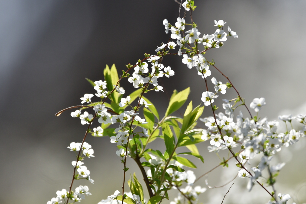 小さな白い花たち