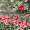 落花を見つめる椿