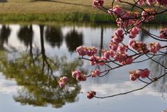 八重桜と池②
