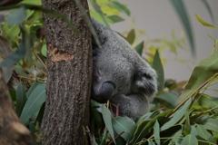 ひらかわ動物公園コアラ館