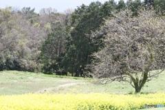 菜の花畑 4
