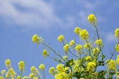菜の花畑 5