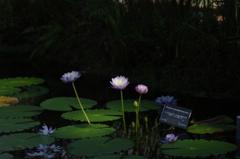 暗闇の中で咲く熱帯睡蓮