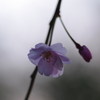 眠りにつく【桜】
