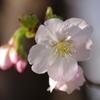 桜の花を拡大