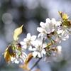 意気揚々【山桜】