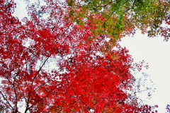 赤と緑のモミジ