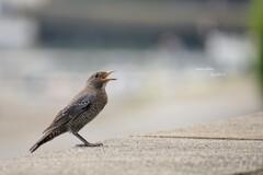 9.06 朝の漁港(幼鳥)