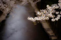 一か月分の桜