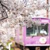 嵐電 桜のトンネル 01