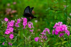 幸せを運ぶ蝶