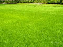 梅雨明けの緑